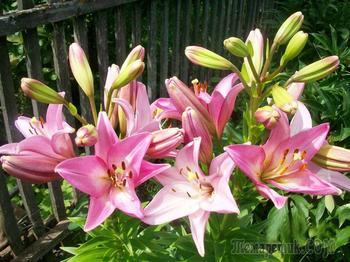Виды и группы садовых лилий: описание и уход