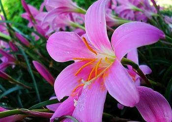 Основы ухода и выращивания комнатных сортов лилий