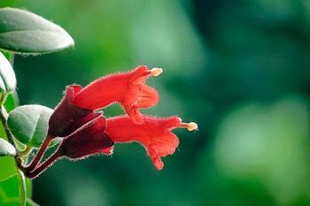 8 лучших видов эсхинантуса
