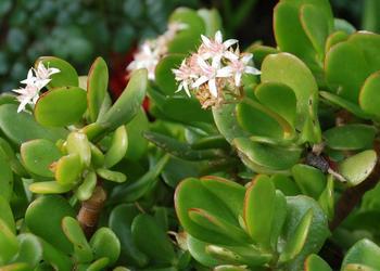 Цветение крассулы при выращивании дома