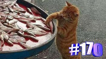 Смешные коты   Приколы с котами   Видео про котов   Котомания # 170
