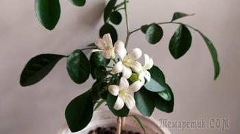 Мурайя (муррайя) или комнатная мурка - цветение в домашних условиях