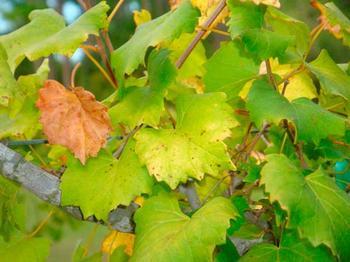 Как бороться с хлорозом на винограде