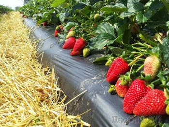 Сорта земляники, которые обеспечат вас урожаем с июня до сентября