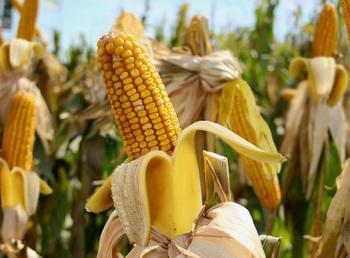 Кукуруза - семейства злаковых