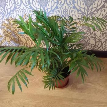 Уход в домашних условиях за цветком Хамедорея Бридбл (Элеганс)