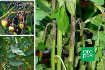 Болезни томатов: 5 самых распространенных