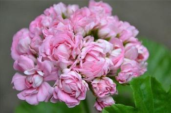 Описание и уход за лучшими сортами розебудной пеларгонии