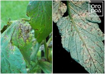 Что делать, если на листьях помидоров появились пятна