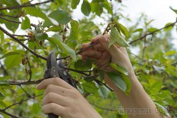 Вишня после сбора урожая: 5 самых важных дел