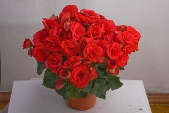 Как бегония Элатиор располагает на одном цветоносе 70 цветков