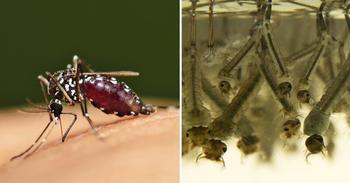 5 стадий комариной жизни: от яйца до зимней спячки
