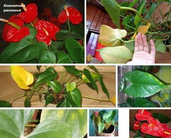 Почему у антуриумов появляются желтые листья — советы по восстановлению