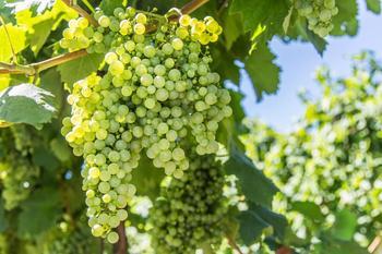 Обрезка винограда весной – пошаговая инструкция для начинающих