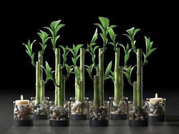 Как размножить бамбук в домашних условиях?