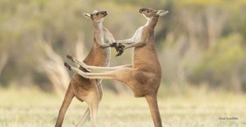 Весёлые фотографии, присланные на конкурс Comedy Wildlife Photography Awards 2021