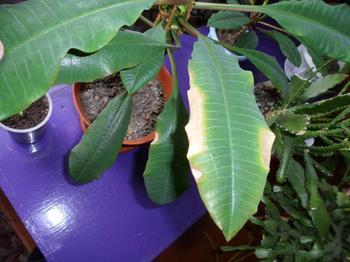 Почему у комнатного молочая желтеют и опадают листья: как его спасти