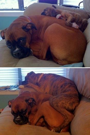 30 веселых фотографий о том, боксеры – самые странные и милые собаки в мире
