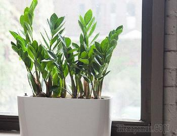 Долларовое дерево или комнатный цветок замиокулькас: посадка, уход, размножение