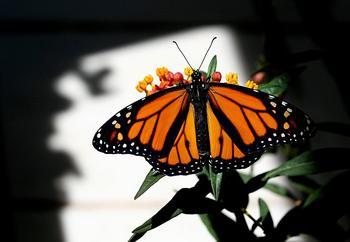 Рождение бабочки монарха