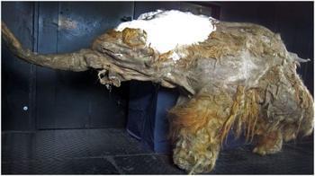 Японцы «разбудили» шерстистого мамонта, который жил 28 000 лет назад