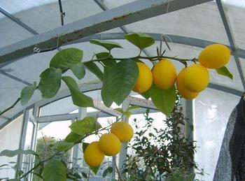 Какой уход нужен лимону Мейера в домашних условиях