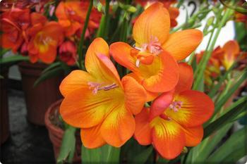 Фрезия цветок: посадка уход