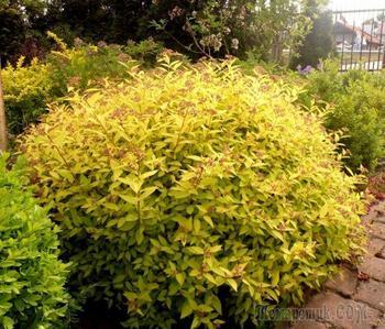 Сокровищница вашего сада – кустарники с золотыми и серебристыми листьями