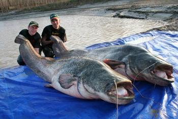 Самые большие рыбы — пресноводные
