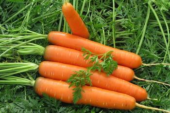 Все о выращивании моркови: от выбора сорта для посадки до правил хранения урожая