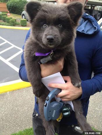 Милые щенки, которые больше похожи на плюшевых медведей