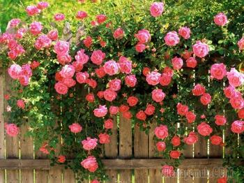 Плетистая роза. Описание, уход