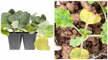 Разбираемся с причинами пожелтения капустной рассады и спасаем растения