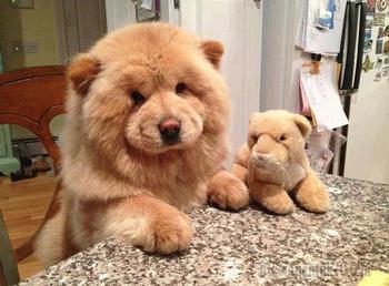 20 восхитительно пухлых щенков, которые выглядят как медвежата