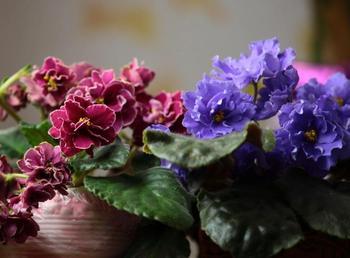 Комнатная фиалка - изысканное сочетание скромности и красоты