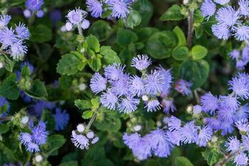 Агератум – неприхотливое теплолюбивое цветущее травянистое растение