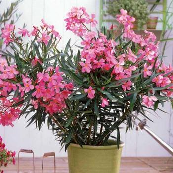 Великолепный олеандр - как вырастить цветущий кустарник
