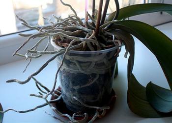 Правильная пересадка орхидеи в домашних условиях