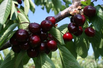 Описание и выращивание черешни ревна