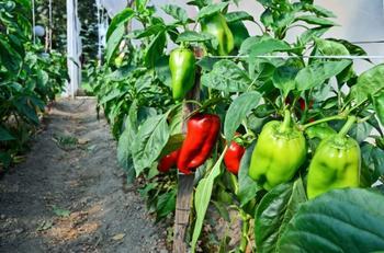 Как ухаживать за перцем в теплице и открытом грунте: 7 правил для богатого урожая