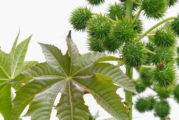 Касторовое масло — естественная защита от болезней и смертельных вирусов
