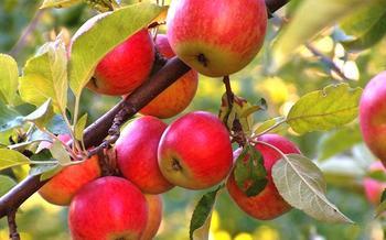 Чем подкормить яблони и груши весной?
