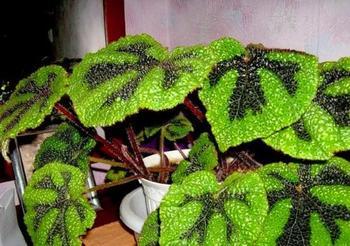 Уход за декоративно-лиственной бегонией Мэсона