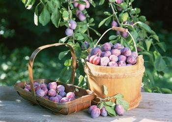 Как получить хороший урожай сливы: подкормки сливы