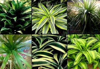 Драцена (Драконово дерево), виды и характеристики