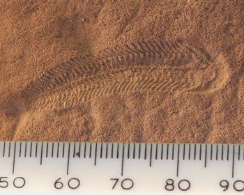 Животные докембрия и кембрийского периода