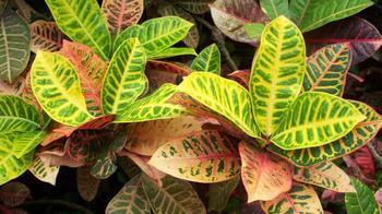 У кротона сохнут и опадают листья: причины, что делать в этом случае