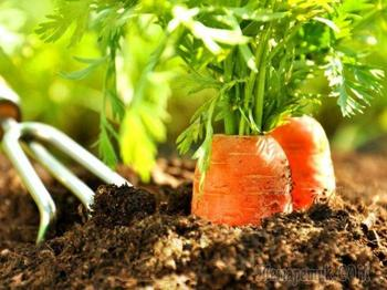 Агротехника выращивания моркови в природном земледелии