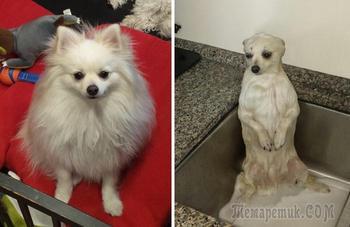 Собаки, сфотографированные до и после принятия ванны