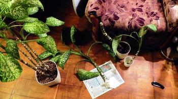Размножение диффенбахии в домашних условиях